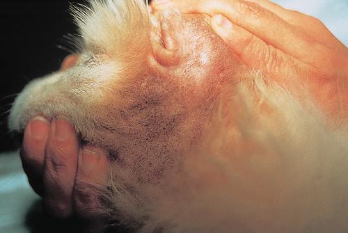 Small Animal Dermatology Q&A 08a.jpg