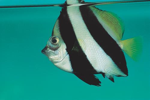 Ornamental Fish 22a.jpg