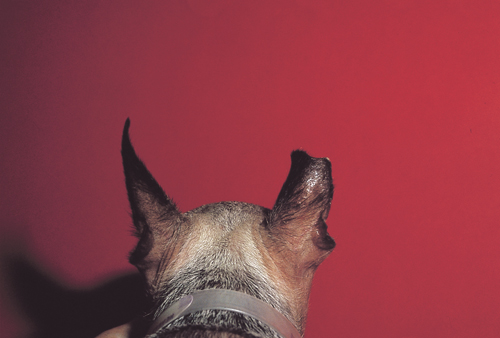 Small Animal Dermatology Q&A 15b.jpg