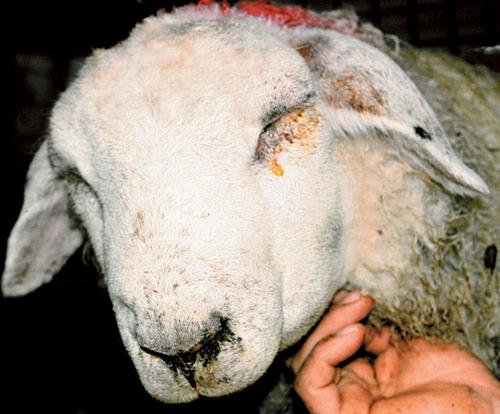Sheep Medicine 10.jpg