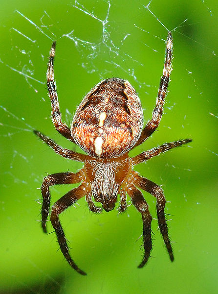 Spider logo.jpg