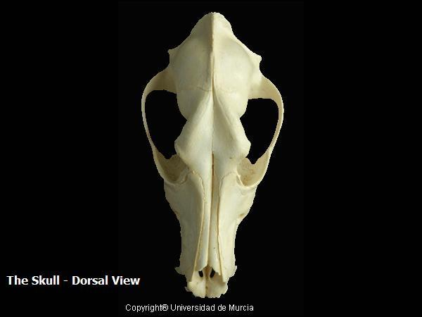 Canine dorsal skull 2.JPG
