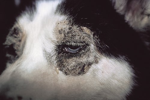 Small Animal Dermatology Q&A 22.jpg