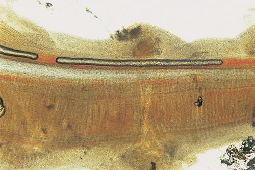 Ornamental Fish 22b.jpg