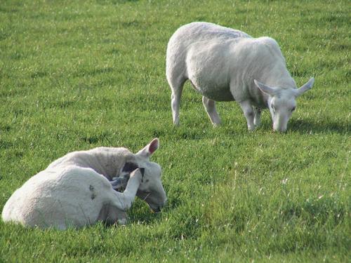 Sheep Medicine 8.jpg