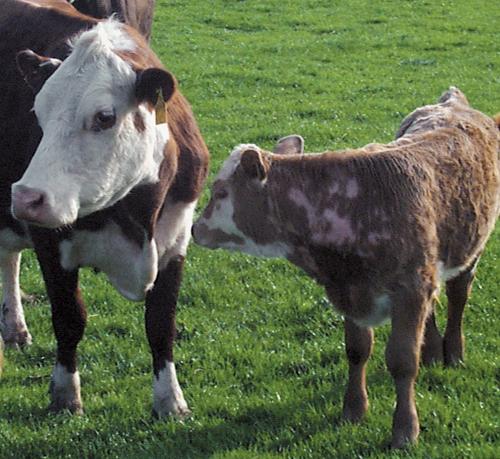 Cattle Medicine 9.jpg