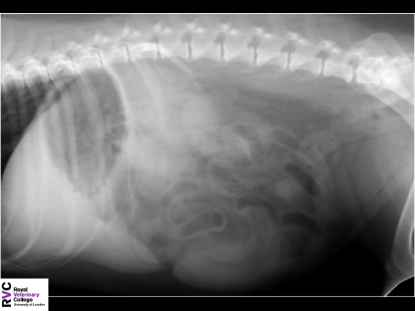 Canine lateral abdomen radiograph.jpg