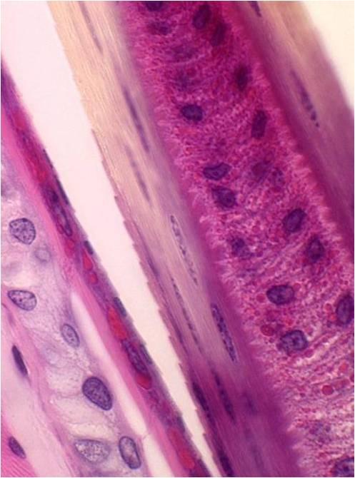 Follicle.jpg