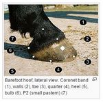 Lateral view horse foot.jpg