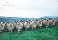 Welsh Mule